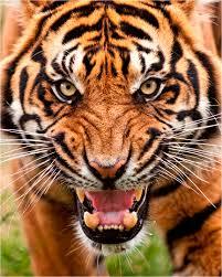 tigersnarl